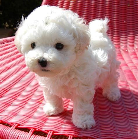 Do Bichon Yorkies Shed by Best 25 Small Dogs Ideas On Small Dogs
