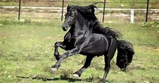 Meet World-Famous Friesian Stallion, Frederik The Great
