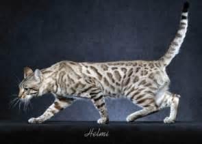 bengal cat price breeder directory bengal breed