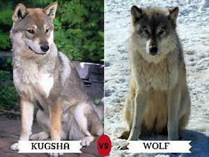 Dog Breeds That Look Like Wolves and Facts About Them ...