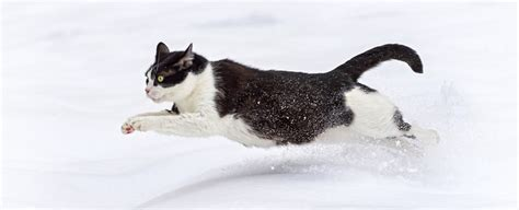 cat fast running run cats snow speed built
