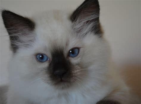 Rivendoll Ragdolls  Ragdoll Cat Breeder Mandurah