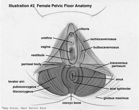 anatomy of the pelvic floor beyond basics physical