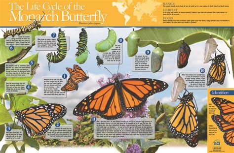 neosci monarch butterfly life cycle laminated poster