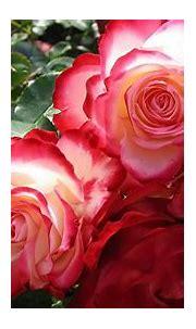 [45+] 3D Red Roses Wallpaper on WallpaperSafari