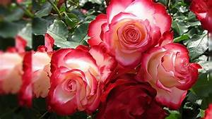 3D Red Roses Wallpaper - WallpaperSafari