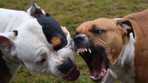 salva il cane dallattacco   pitbull youtube