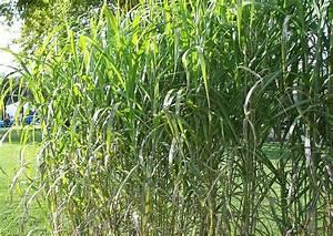 Ziergräser Im Garten Bilder : hochwachsend miscanthus giganteus 39 axel ohlsen 39 chinaschilf hohes ziergras f r ~ Sanjose-hotels-ca.com Haus und Dekorationen