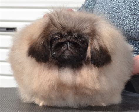 pekingese puppy  sale female dungannon county