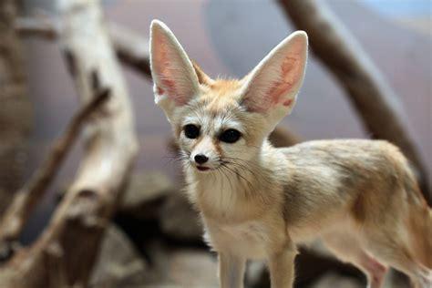 amazing animal adaptations  living   desert