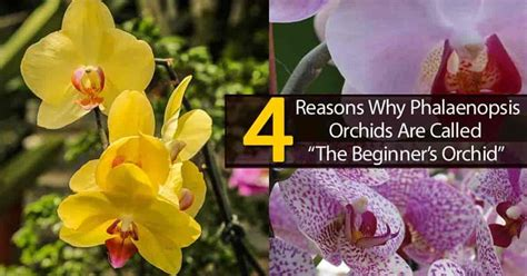 transplanting phalaenopsis orchids phalaenopsis orchid care tips for growing the moth orchid