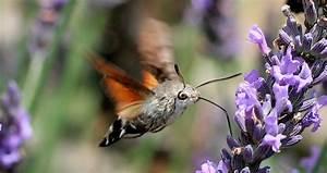 Mariposas colibrí