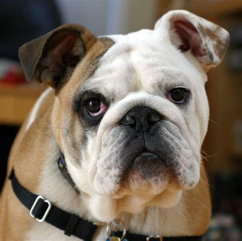 Fileclyde The  Ee  Bulldog Ee   Jpg Wikimedia Commons