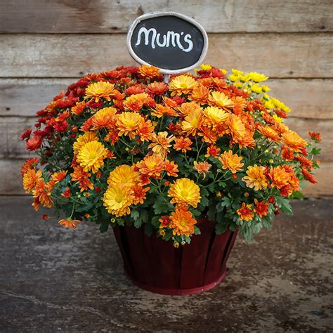 How to grow and care for Fall mums. - Van Wingerden Home ...