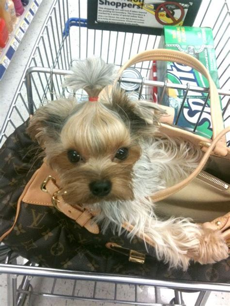 do yorkie poos bark a lot yorkie puppys and toys on