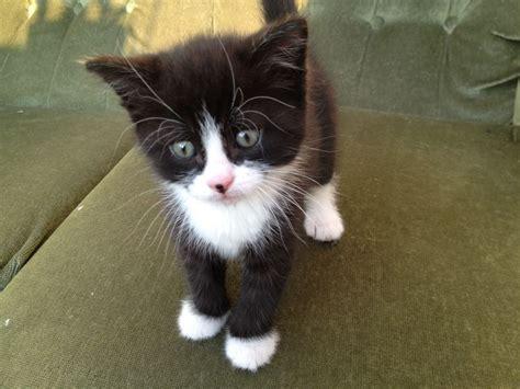 kitten for sale playful fluffy black white kitten for sale norwich