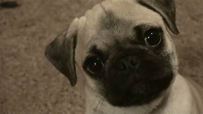 Pug Wallpapers Puppy Tablet Attack