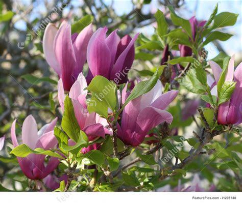 magnolia shrub varieties mary jane magnolia bing images
