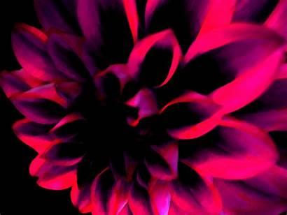 Flower Dark Pink Desktop Wallpapers Hanna Background