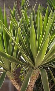 Yucca Palme Winterhart : zimmerpalmen urlaubsstimmung f r die eigenen vier w nde ~ Frokenaadalensverden.com Haus und Dekorationen