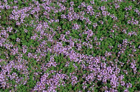fleur de thym cuisine thym planter et tailler ooreka