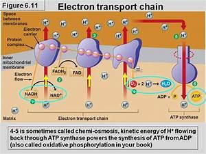 1 Electron Transport Chain  U0026 Oxidative Phosphorylation