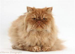 Ginger Persian male cat photo WP34595