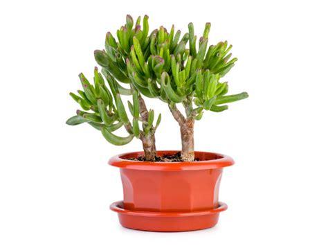 feng shui plants for office desk lucky plants for your office desk boldsky com