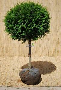 Baum Fällen Kosten Forum : thuja baum schneiden wie stark kann ich eine hecke zur ck ~ Jslefanu.com Haus und Dekorationen