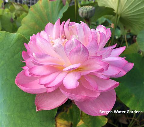 pink lotus bergen water gardens lotus paradise