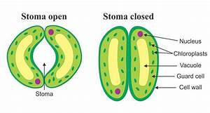 Diagram Of Open And Closed Stomacal Pore Science Life