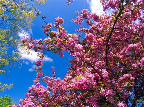 trees that pink flowers file pink flowers jpg