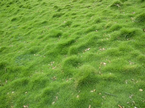 buy carpet grass seed syed garden