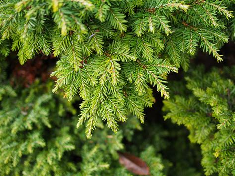 hemlock trees canadian hemlock trees description growing tips