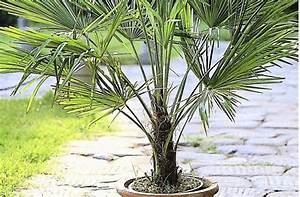 überwintern Von Palmen : der gr ne daumen expertentipp winterfeste palmen web ~ Michelbontemps.com Haus und Dekorationen