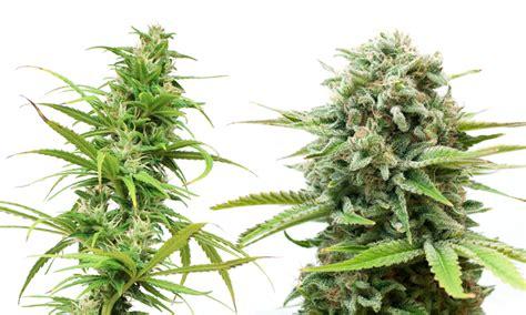 Indica Vs. Sativa Cannabis Edibles