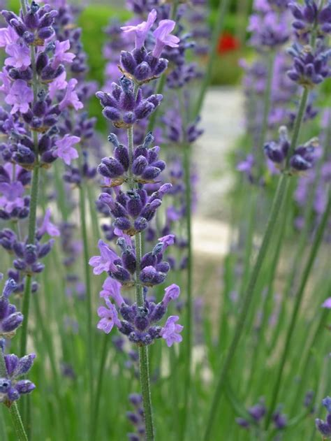 how to care for lavender bushes pruning lavender how to cut back lavender the o jays