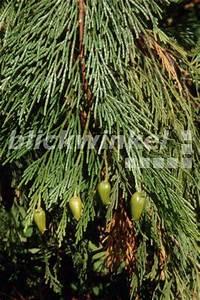 Weihrauch Pflanze Winterhart : blickwinkel kalifornische weihrauchzeder kalifornische ~ Lizthompson.info Haus und Dekorationen