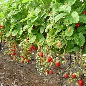 Plant De Fraise : planter les fraisiers gamm vert ~ Premium-room.com Idées de Décoration
