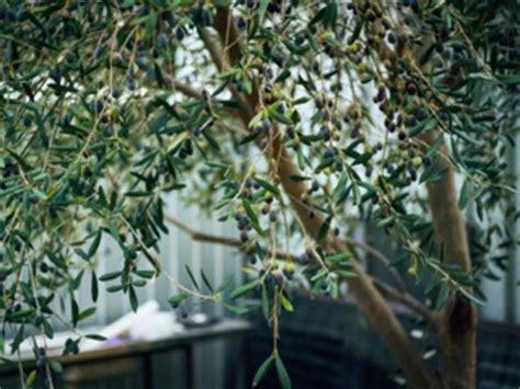 engrais olivier en pot cultiver un olivier en pot