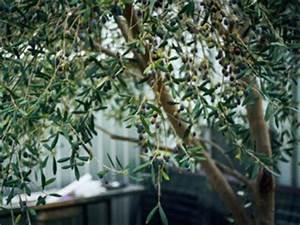 Planter Un Olivier En Pot : olivier en pot conseils de culture ~ Dode.kayakingforconservation.com Idées de Décoration