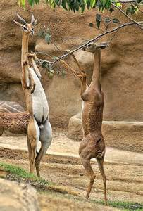 Long-Necked Antelope