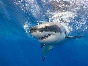 Body Found Offshore  Great White Shark Attacked Teen