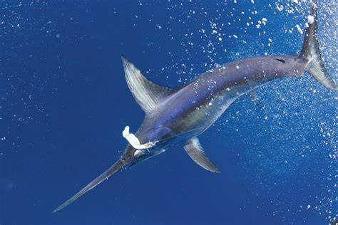 swordfish billfish fishing florida key west swordfishing keys underwater bluewater delphfishing delph charters