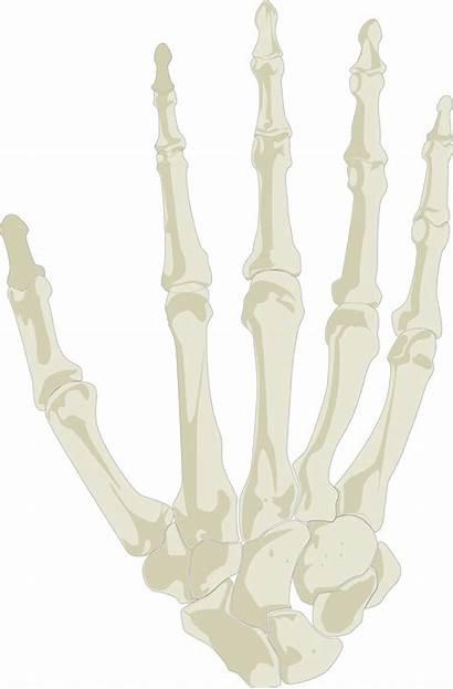 Skeleton Clipart Human Biology Transparent Science Webstockreview