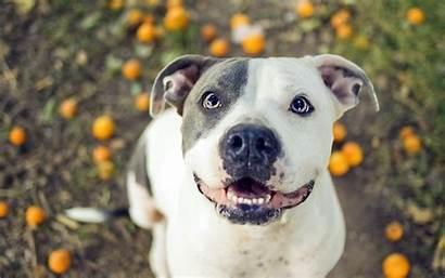 Pitbull Dogs Wallpapers Pit Dog Bull Animal