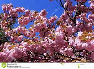 Rosa Blühender Baum Im Frühling : baum mit rosa blumen stockfoto bild 52001272 ~ Lizthompson.info Haus und Dekorationen