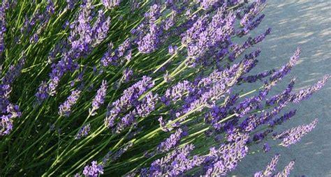 fiore di lavanda fiori di lavanda secchi fiori secchi fiori lavanda secchi