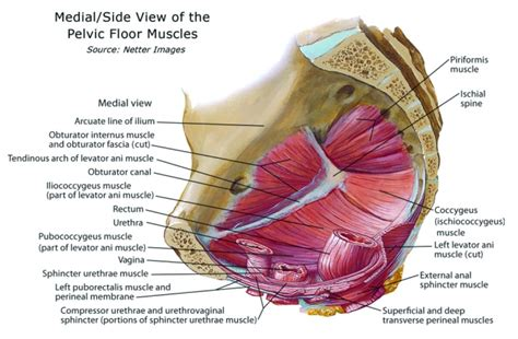 Muscles Of The Pelvic Floor by Therapy For Management Of Childbirth Perineal Tears And
