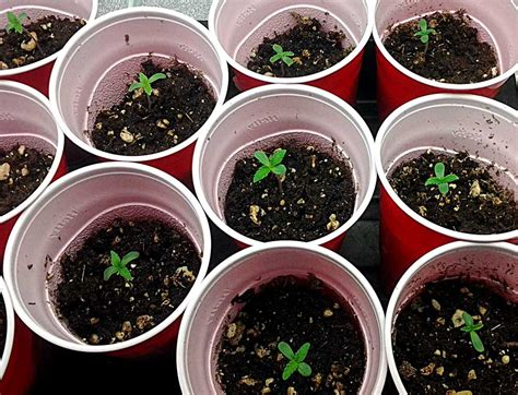 Growing Pot Plants From Seeds Make Seedlings Grow Faster Avoid Common Problems